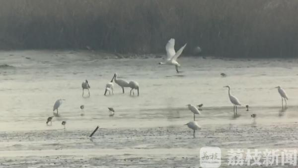 常熟生态持续改善 珍稀鸟类现身长江沿线