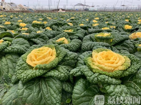 """""""网红玫瑰白菜""""品质升级 南农大新技术让不结球白菜减""""肥""""增"""