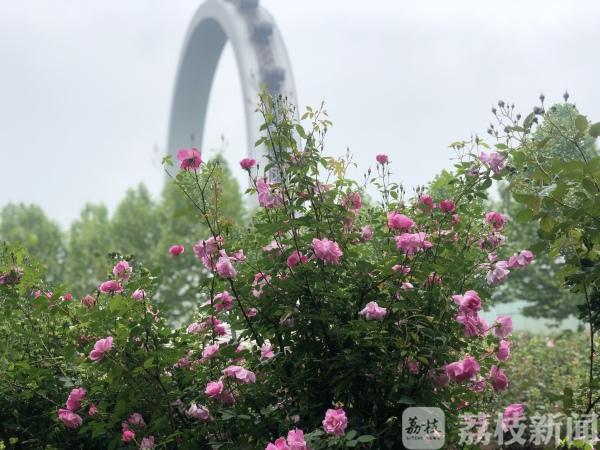 江�K唯一月季名�@2�f株月季 五一首日迎��5�f余名游客
