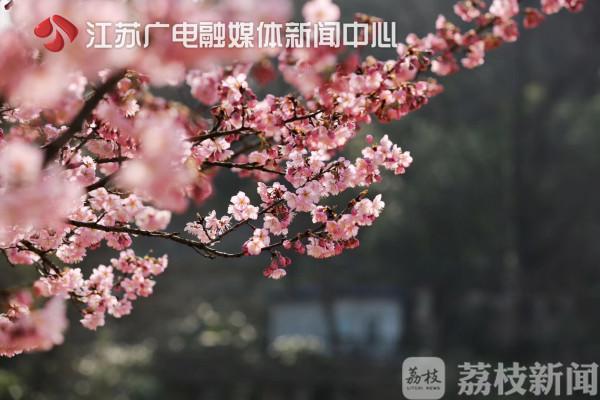 【荔枝网】春来了!南京中山植物园樱花进入最佳赏花期